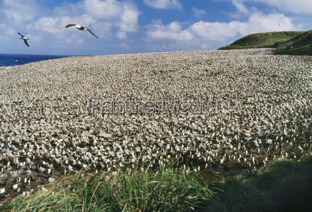 black browed albatross colony thalassarche melanophrys