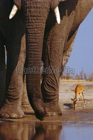 african elephants loxodonta africana and impala