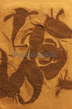 fossil eurypterids eurypterus remipes new york