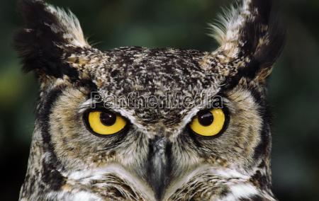 great horned owl bubo virginianus monterey