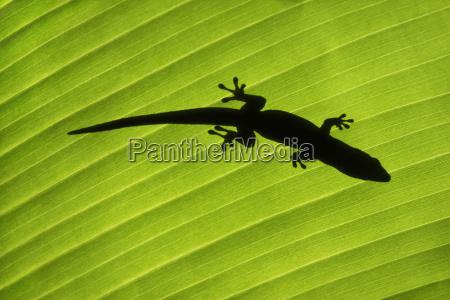 madagascar day gecko on palm leaf