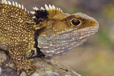 tuatara sphenodon guntheri north brother island