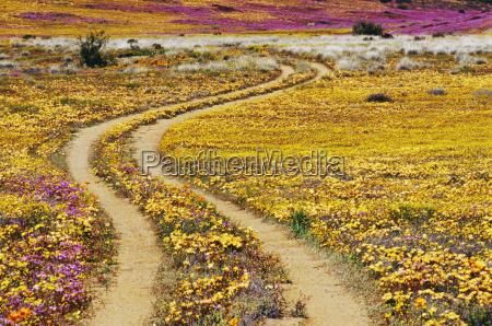dirt road and daisies goegap nature