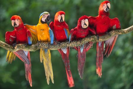 scarlet macaws ara chloroptera perched with
