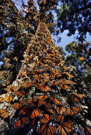 monarch butterflies on tree trunk danaus