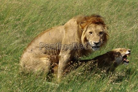 african lions mating panthera leo masai