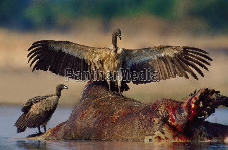 white backed vultures at hippo carcass