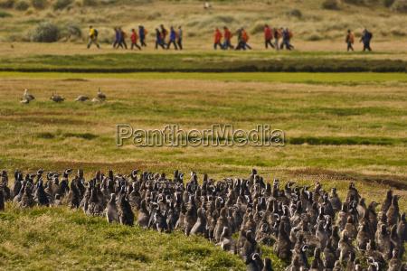 tourists and juvenile magellanic penguins spheniscus