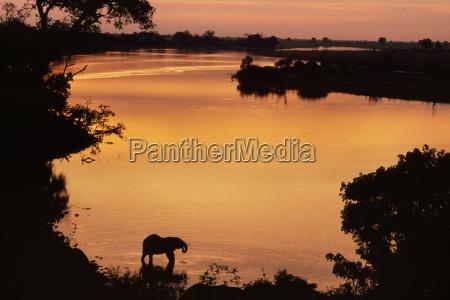african elephant at sunset loxodonta africana