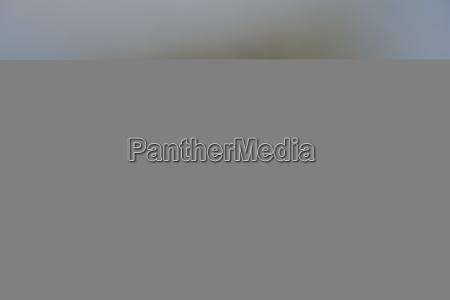long tailed fiscal lanius cabanisi selous