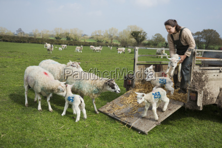 woman on a pasture unloading sheep