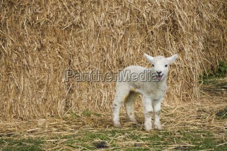 newborn lamb standing outdoors in front