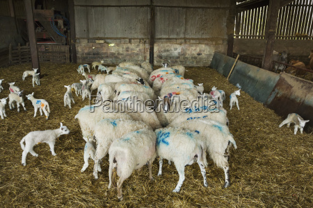 flock of sheep and newborn lambs