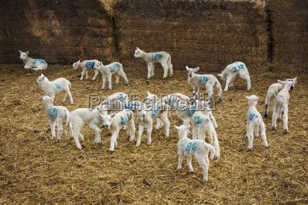 flock of newborn lambs with blue