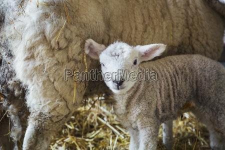 ewe with newborn lamb inside a