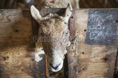 sheep looking at the camera through