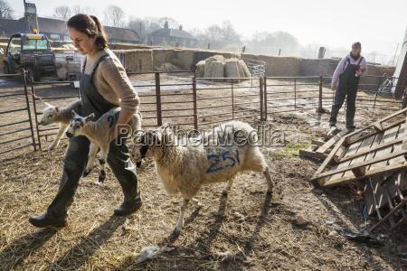 two women in a sheep pen