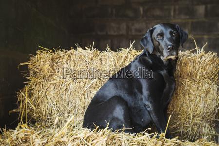 black labrador dog sitting on a