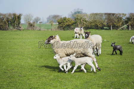 small flock of sheep and lambs