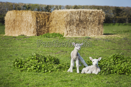 two newborn lambs on a pasture