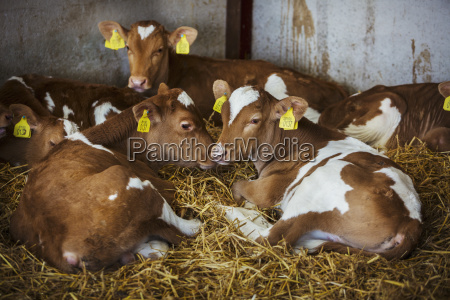 five brown and white calves lying
