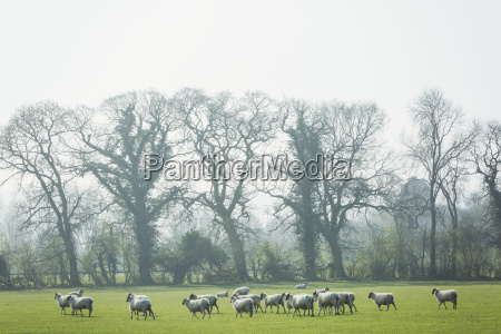 flock of sheep on a pasture