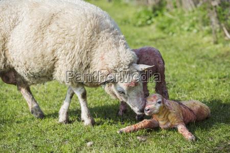 a ewe licking a just newborn