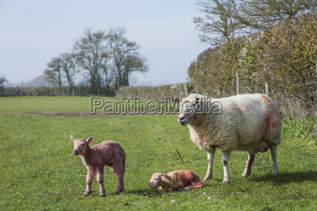 ewe and two newborn lambs on