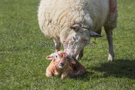 ewe licking clean her newborn lamb