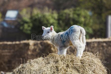 newborn lamb standing on a bale