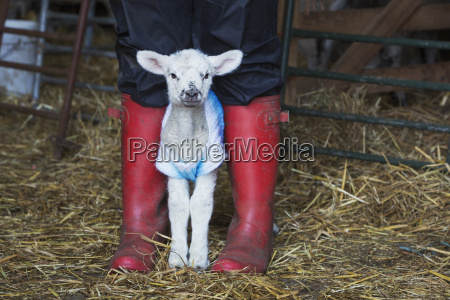 newborn baby lamb dressed in a