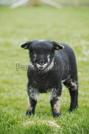 a young animal a black lamb