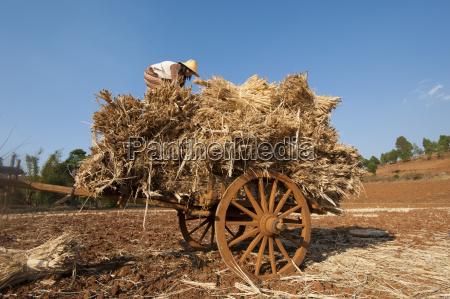 a girl loads bundles of harvested