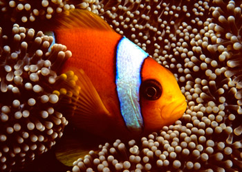 Closeup of a Clownfish swimming between anemone