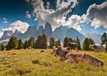 Cows lying on field with mountains in the background