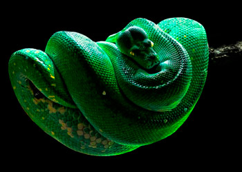 Green snake looped around a branch with black background
