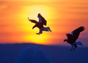 Two flying eagles while sunset in nature